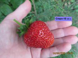 Клубника Crapo-10.JPG