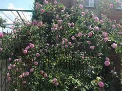 роза - пик цветения