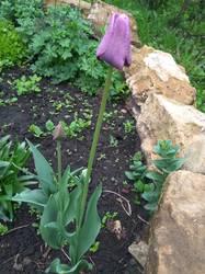 вот он синенький цветочек Блю Аймабл).jpg