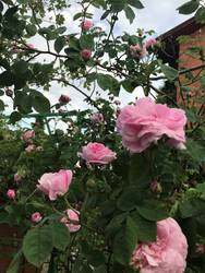 роза зацветает