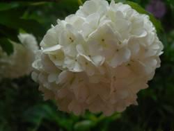 Соцветие Бульденеж