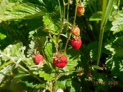 Первые ягодки безусой земляники