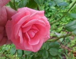 Первые розы...