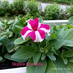 Петуния ампельная Skybox Rose Star