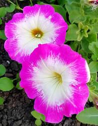 Merlin Pink Morn