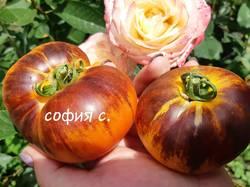 Золотые Яблоки мои.jpg