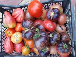 томаты.jpg
