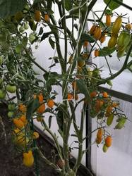 Чио-чио-сан оранжевый
