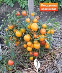 Пендулина оранжевая..jpg