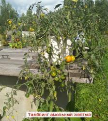 Тамблинг ампельный желтый. IMG_20200809_104831.1