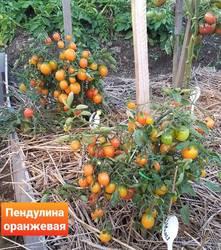 Пендулина оранжевая.jpg