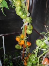 Оранжевая клубника сердцевидная2.JPG