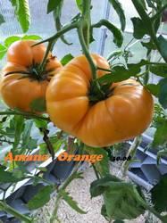 Amana Orange 30.08-1.jpg