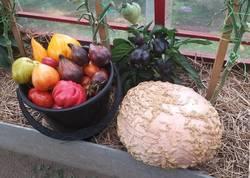 Galeux D' Eysines  и томаты