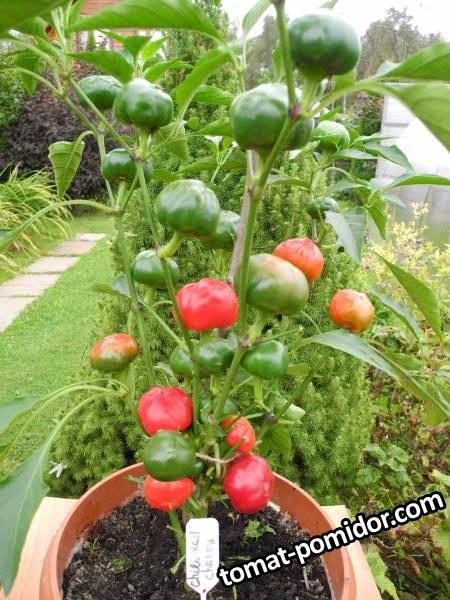 Large Red Cherry (слабоострый перец от Мечиславовны).JPG