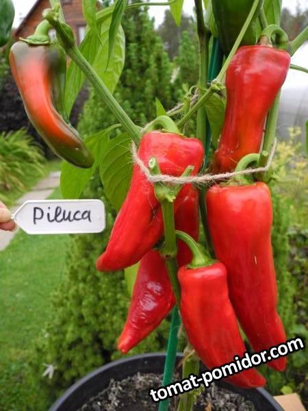 Piluca (острый перец).JPG