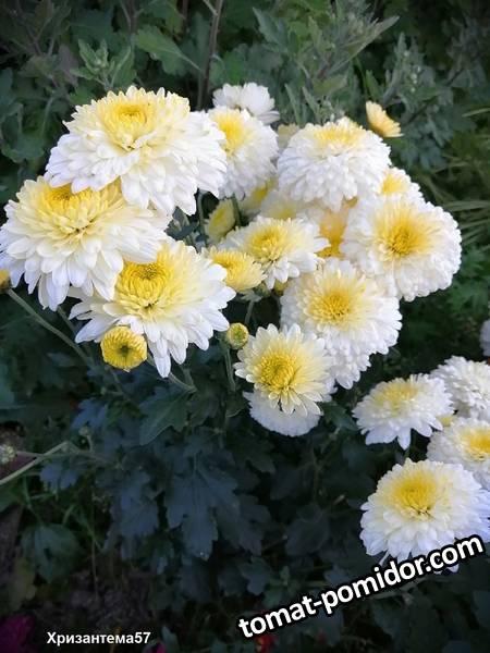 Хризантема Гуси-лебеди.jpg