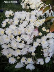 Хризантема мультифлора 3.jpg