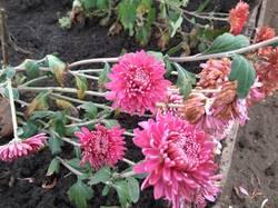 хризантема крупная малиновая.jpg