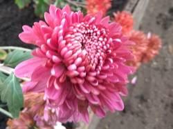 хризантема крупная малиновая1.jpg
