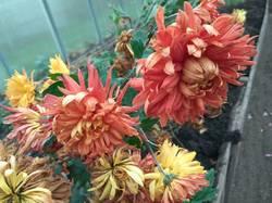 хризантема крупная желто оранжевая1