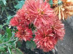 хризантема крупная красно кирпичная.jpg