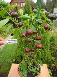 Chocolate Cherry (Шоколадные черри, острый перец).JPG