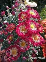 Хризантема Красуня.jpg