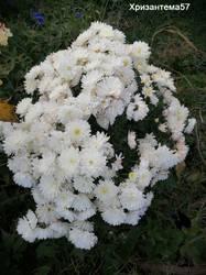 Хризантема мультифлора4.jpg