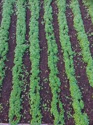 Чесночная грядка 07.10.20 : Посев горчицы - 23 сентября.JPG