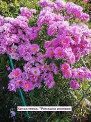 Хризантема Ромашка розовая.jpg