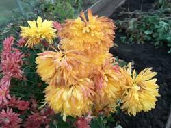 хризантема крупная желтая.jpg