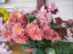 хризантема мультифлора розовая1.jpg