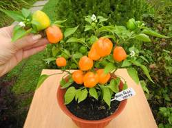 Мини белл оранжевый 2.JPG