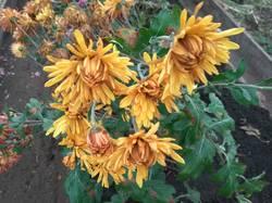 хризантема крупная желто оранжевая