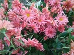 хризантема мультифлора розовая.jpg