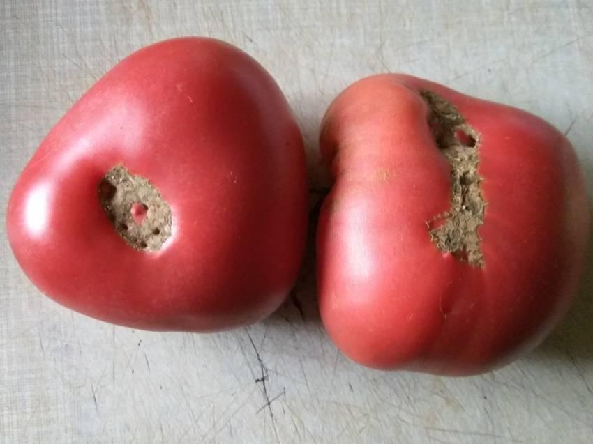 томат Ювель.jpg