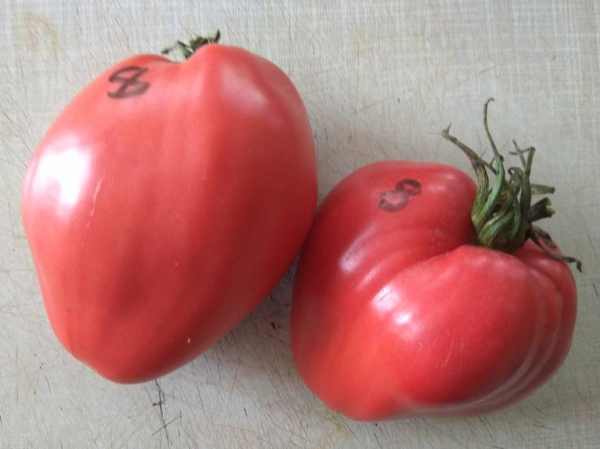 томат Лентяйка.jpg