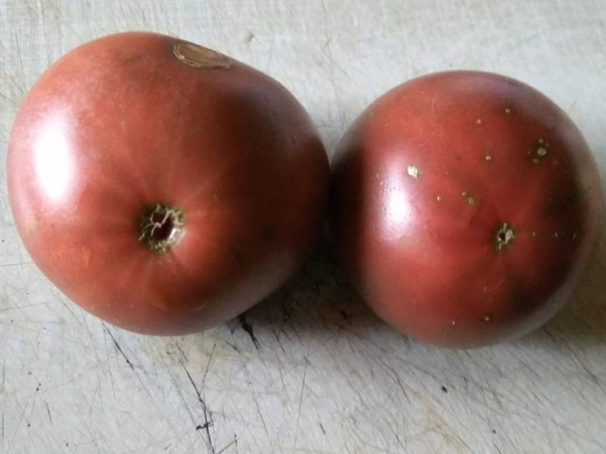 томат Черный исполин.jpg
