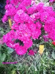 Хризантема мультифлора5.jpg
