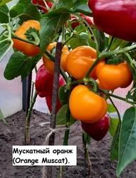 Мускатный оранж (Orange Muscat).jpg