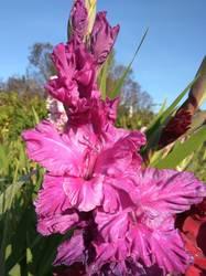 Чарикова орхидея.jpg