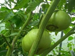 томат не Сердце Удаловой.jpg