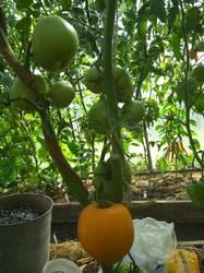 томат Оранжевое сердце.jpg
