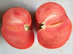томат не БС Удаловой_р.jpg