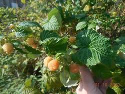 Последние ягодки малины