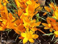 Крокус Golden Yellow