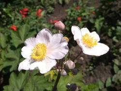 что за цветок- анемона войлочная робустиссима.jpg