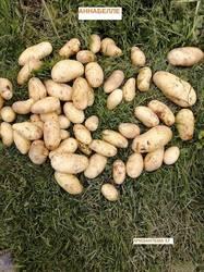 картофель Аннабелле.jpg