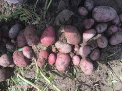 Картофель Леди Розетта.JPG